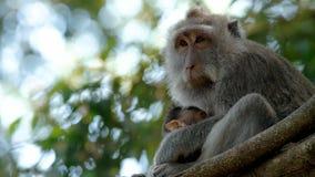 Dziecko małpa ssa jego matki zbiory wideo