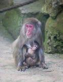 Dziecko małpa z matki małpy zoo Afryka ssaka zwierzęciem Zdjęcie Royalty Free