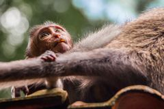 Dziecko małpy nowonarodzeni spojrzenia przy jego matkują adoringly obraz royalty free