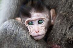 dziecko makak Obraz Royalty Free