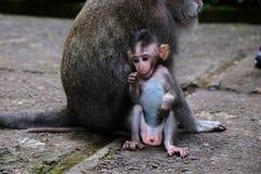 dziecko makak zdjęcia royalty free