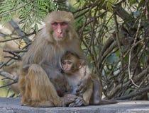 Dziecko makak z matką Zdjęcia Stock
