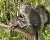 Dziecko makaka małpa karmi z swój matki. obraz royalty free