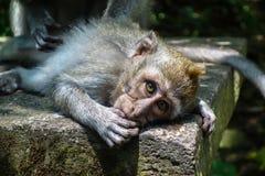 Dziecko Makake przy Małpim lasem w Ubud Zdjęcie Stock