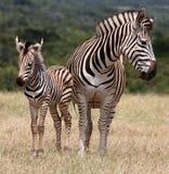 Dziecko matka i zebra Zdjęcia Stock