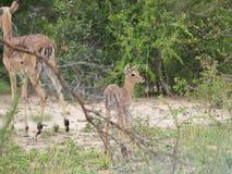 Dziecko matka w Południowa Afryka i Impala Obraz Stock