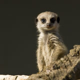 Dziecko Meerkat Fotografia Stock