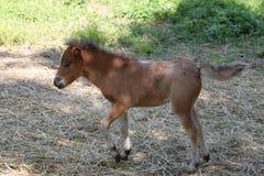 Dziecko miniaturowy koń Fotografia Royalty Free