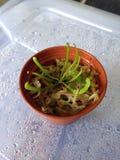 Dziecko miotacza roślina Obrazy Stock