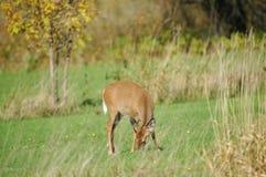 dziecko na jelenie jedzenie Zdjęcia Stock