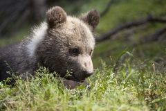 Dziecko niedźwiadkowy portret w słońcu Obraz Royalty Free