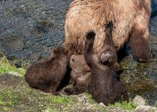 Dziecko niedźwiedzie z mamą rzeką Zdjęcie Royalty Free