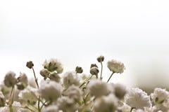 Dziecko oddech kwitnie na bielu obraz stock