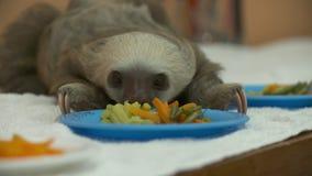 Dziecko opieszałość cieszy się posiłek, Costa Rica sanktuarium zbiory wideo