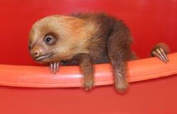 Dziecko opieszałość w zwierzęcym sanktuarium, Costa Rica Zdjęcia Royalty Free