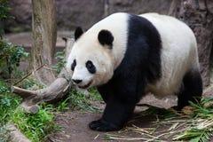Dziecko panda Obrazy Stock