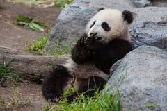Dziecko panda fotografia royalty free