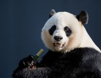 Dziecko panda w drzewie Zdjęcia Royalty Free