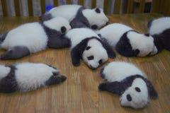 Dziecko pandy Chengdu fotografia stock