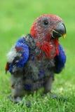 dziecko papuga Fotografia Royalty Free