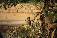 dziecko pawiana siedział drzewa Zdjęcia Royalty Free
