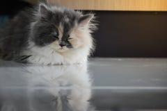 Dziecko Perski kot spada uśpiony na podłodze obraz stock