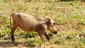 Dziecko - Phacochoerus africanus pospolity warthog Zdjęcia Royalty Free