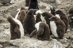 Dziecko pingwinu kolonia Obraz Stock