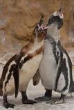 dziecko pingwiny Fotografia Stock