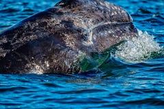 Dziecko popielatego wieloryba nos przy zmierzchem w pokojowym oceanie zdjęcia royalty free