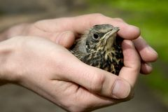 dziecko ptak Fotografia Royalty Free