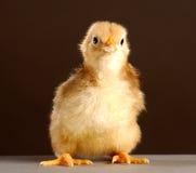 dziecko ptak Obrazy Stock