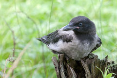 Dziecko ptak wrona na zielonej tło trawie Zdjęcia Royalty Free