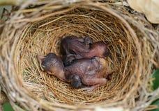 Dziecko ptaki śpią gniazdeczko Fotografia Stock