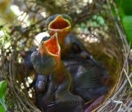 Dziecko ptaki są głodni zdjęcia stock