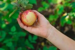 Dziecko ręka - podnosi czerwonego dojrzałego jabłka na drzewie w ogródzie Obrazy Royalty Free