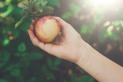 Dziecko ręka - podnosi czerwonego dojrzałego jabłka na drzewie w ogródzie Obraz Royalty Free