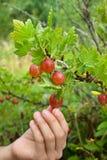 Dziecko ręka podnosi dojrzałe czerwone jagody agrest Fotografia Stock
