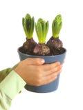 Dziecko ręki trzyma hiacynty w kwiatu garnku Obraz Stock
