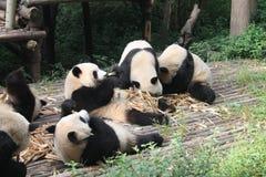 Dziecko Rodzinna Gigantyczna panda, Chengdu Chiny obrazy stock