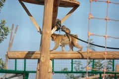 dziecko rodzinny przygotowywa jej makaka małpy matki fotografia stock