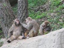 dziecko rodzinny przygotowywa jej makaka małpy matki Zdjęcie Stock