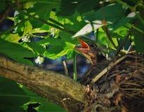 Dziecko rudzik czekać na jedzenie od mamusi obrazy stock
