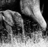 Dziecko słoń Fotografia Royalty Free