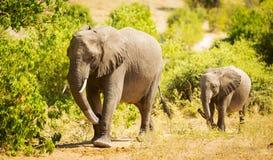 Dziecko słoń w Afryka Obraz Stock