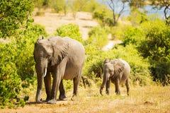 Dziecko słoń w Afryka Obrazy Royalty Free
