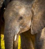 Dziecko słoń w Afryka Zdjęcia Stock