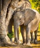 Dziecko słoń w Afryka Zdjęcia Royalty Free