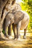 Dziecko słoń w Afryka Fotografia Stock