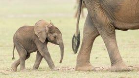 Dziecko słoń w Amboseli, Kenja Zdjęcia Stock